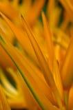 Oranje Heliconia stock foto