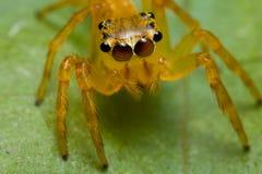 Oranje het springen spin Stock Foto's