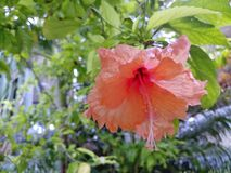 Oranje Hisbiscus-Bloem royalty-vrije stock fotografie