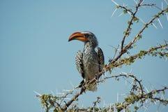 Oranje hornbill #2 Stock Afbeelding