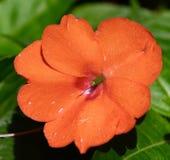 Oranje Impatiens royalty-vrije stock afbeeldingen