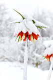 Oranje imperiali van bloemfritillaria onder sneeuwval Stock Afbeelding