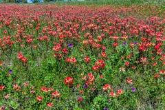 Oranje Indisch Penseel Wildflowers in Texas royalty-vrije stock afbeeldingen