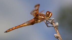 Oranje insect Royalty-vrije Stock Afbeeldingen
