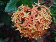 Oranje Ixora-bos van bloemen Stock Afbeeldingen