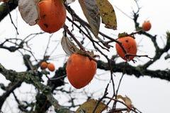 Oranje Japanse dadelpruimfruit op de boom en druppeltje na regen op witte hemelachtergrond royalty-vrije stock fotografie