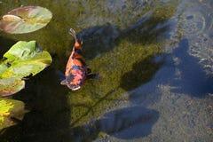 Oranje Japanse Vissen Koi Royalty-vrije Stock Afbeelding