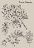 Oranje Jessamine-bloem Stock Foto