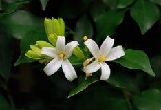 Oranje Jessamine-bloemen, tropische bloem Stock Foto's