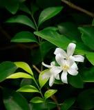Oranje Jessamine-bloemen, tropische bloem Royalty-vrije Stock Afbeeldingen
