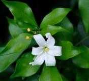 Oranje Jessamine-bloemen, tropische bloem Royalty-vrije Stock Foto
