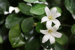 Oranje Jessamine of het Satijnhout of de Kosmetische Kinaboom zijn een witte kleur op de groene boom royalty-vrije stock foto's