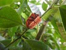 Oranje Juweelinsect op boom met veel oranje eieren in bos met bladeren Stock Foto's