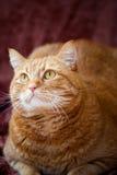 Oranje kat Stock Afbeeldingen