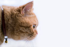 Oranje Kat Stock Foto