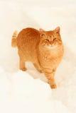 Oranje kat in de sneeuw. Stock Foto's