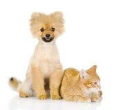 Oranje kat en hond. hond die camera bekijken. royalty-vrije stock foto's