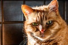 Oranje kat met groene ogen die de camera bekijken; heldere lichte komst uit de linkerkant royalty-vrije stock fotografie