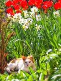 Oranje kat op een achtergrond van rode tulpen en gele narcissen Stock Foto's