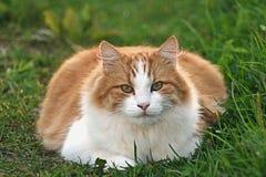 Oranje kattenportret Royalty-vrije Stock Afbeeldingen