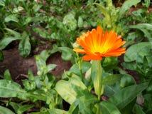 Oranje kleurenbloem in tuin Royalty-vrije Stock Fotografie