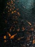 Oranje Koi Fish in Aziatische Vijver stock afbeeldingen