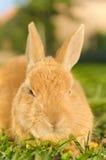 Oranje konijn die op het gras liggen Stock Foto