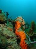 Oranje Koraal Royalty-vrije Stock Afbeelding