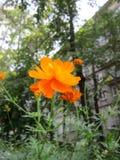 Oranje kosmosbloem in de stadswerf op de achtergrond van bomen Royalty-vrije Stock Afbeeldingen