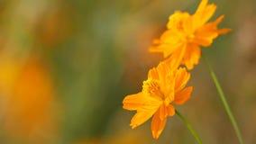 Oranje kosmosbloemen die met de wind schudden stock footage