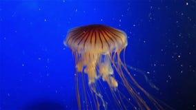 Oranje Kwallen Royalty-vrije Stock Afbeelding