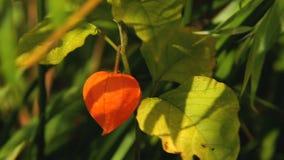 Oranje lantaarn van physalisalkekengi onder groene bladeren stock videobeelden
