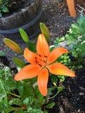 Oranje lelie stock afbeelding
