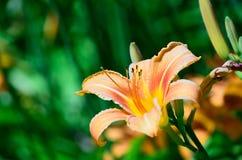 Oranje lelie Royalty-vrije Stock Foto's