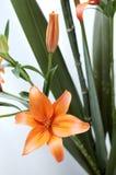 Oranje Lelie Royalty-vrije Stock Foto