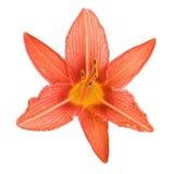 Oranje lelie die op witte achtergrond wordt geïsoleerd Stock Fotografie