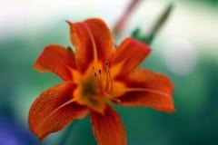 Oranje Lelie in het stadspark Stock Afbeeldingen