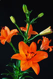 Oranje lelie tegen zwarte achtergrond royalty-vrije stock foto's