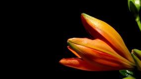 Oranje Lelie tijd-Tijdspanne stock videobeelden