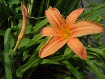 Oranje lelie, wilde oranje lelie, oranje kop Stock Foto