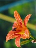 Oranje leliebloem Royalty-vrije Stock Afbeeldingen