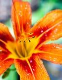 Oranje leliebloem royalty-vrije stock fotografie