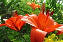 Oranje leliebloemen Stock Foto's