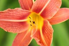 Oranje leliedetail Royalty-vrije Stock Foto's