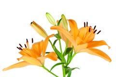 Oranje Lelies Stock Foto's