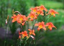 Oranje Lelies Stock Afbeeldingen
