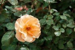 Oranje, lichtrose gevoelig nam close-up toe Selectieve nadruk met ondiepe diepte van gebied stock fotografie