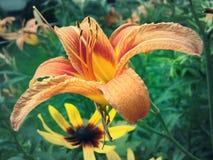 Oranje lilium Stock Foto