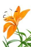Oranje Lilly Royalty-vrije Stock Afbeelding