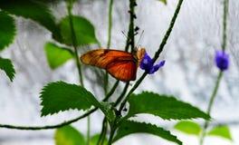 Oranje Longwingbutterfly Royalty-vrije Stock Afbeeldingen